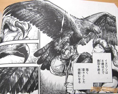 「(イヌワシは4歳ほどで換羽を終え、強く堂々とした体躯になる)」