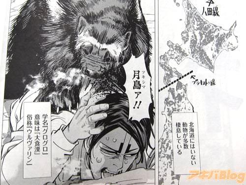 【北海道と樺太の間には「八田線」という動物の分布境界線が存在し、北海道にはいない動物が多数棲息している。クズリ。このイタチ科最大級の猛獣は、気性の荒さから現地ロシア人いわく「熊より恐ろしい」とのこと】 「月島ァ!!」